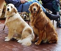 Golden_Retrievers-as-therapy-dogs