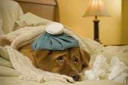 sick-doggie