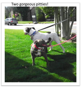 Two-good-looking-pit-bulls