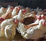 Hens-farm-sanctuary