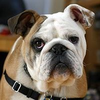 220px-Clyde_The_Bulldog