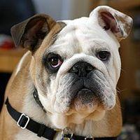 220px-Clyde_The_Bulldog