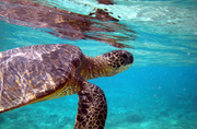 Hawaiian-sea-turtles
