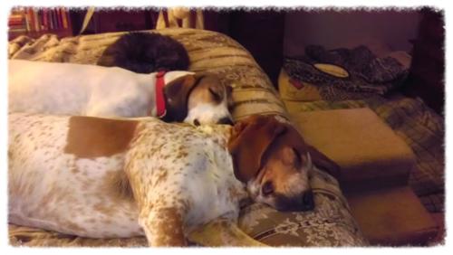 Pandora, cat... Emily hound dog... Chester hound dog Sleeping
