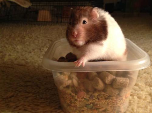 Guinea pig at BlogPaws