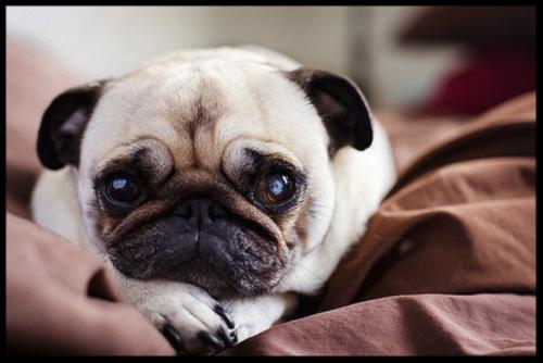 Lil Olive documentary pug