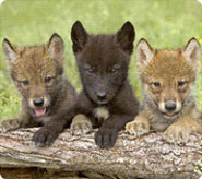 Wolf_cubs
