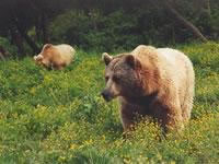 Bears_in_the_wild
